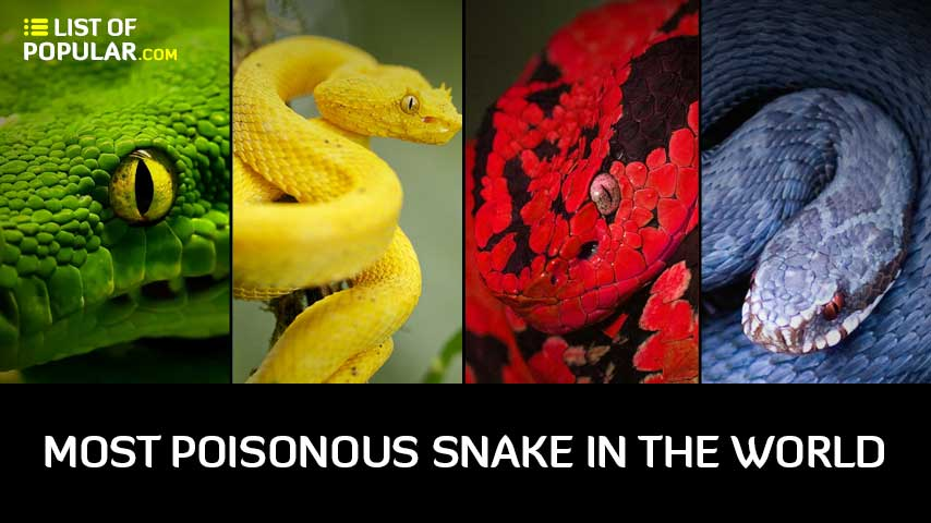 Most Poisonous Snake in the World - Top 10 List